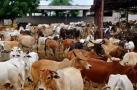 અંજારના નાગલપરની ગૌશાળામાં ઝેરી ઘાસચારાથી 25 ગાયોનાં મોત