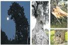 આ વૃક્ષોમાં દેખાતી આકૃતિઓ નૅચરલ છે